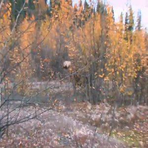 Lee shoots a giant Yukon Moose.